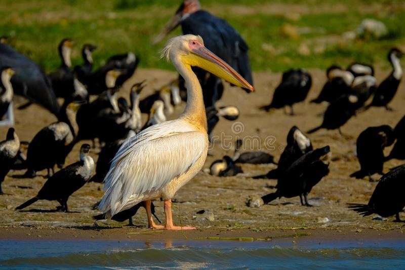 Closeup shot of a white pelican standing on a shore surrounded by black birds. A closeup shot of a white pelican standing on a shore surrounded by black birds royalty free stock photos