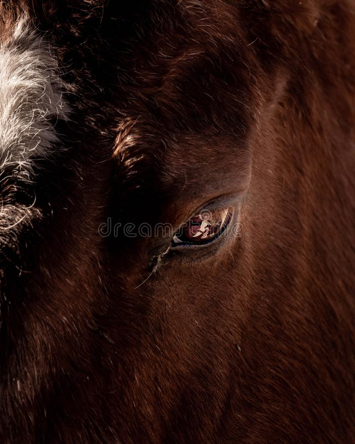 Closeup shot of a wild buffalo`s eye royalty free stock photos