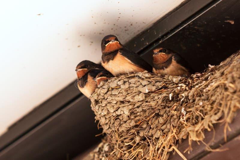 Closeup shot of young barn swallow chicks royalty free stock image