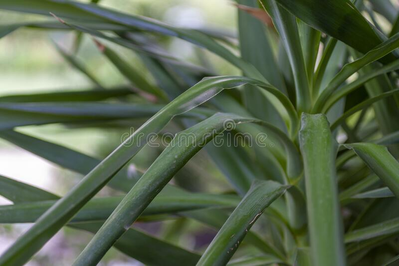 Closeup shot of a Yucca plant.  royalty free stock photography