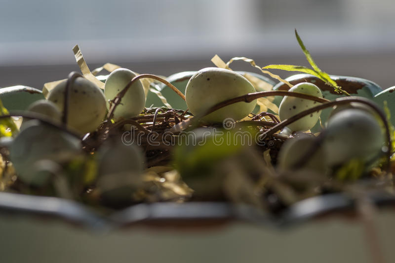 Closeup side view of grapevine entwined robins eggs stock photography