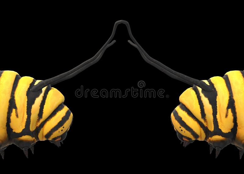 A closeup side view of a pair of yellow caterpillars with black stripes facing each other against a black backdrop royalty free stock photos