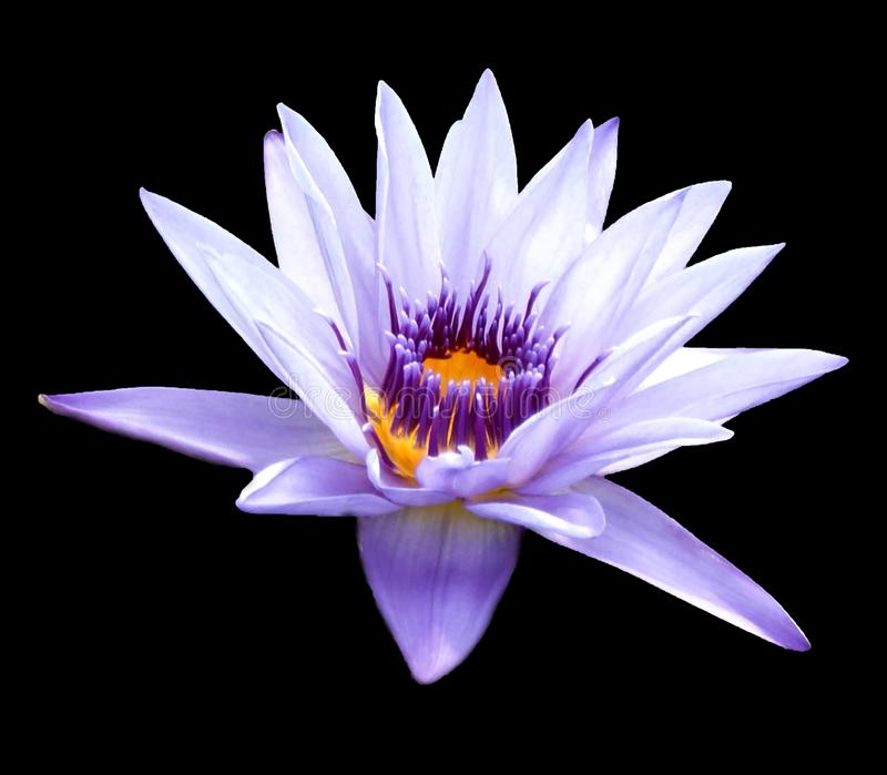 Closeup side view of water lily flower Nymphaea odorata royalty free stock images