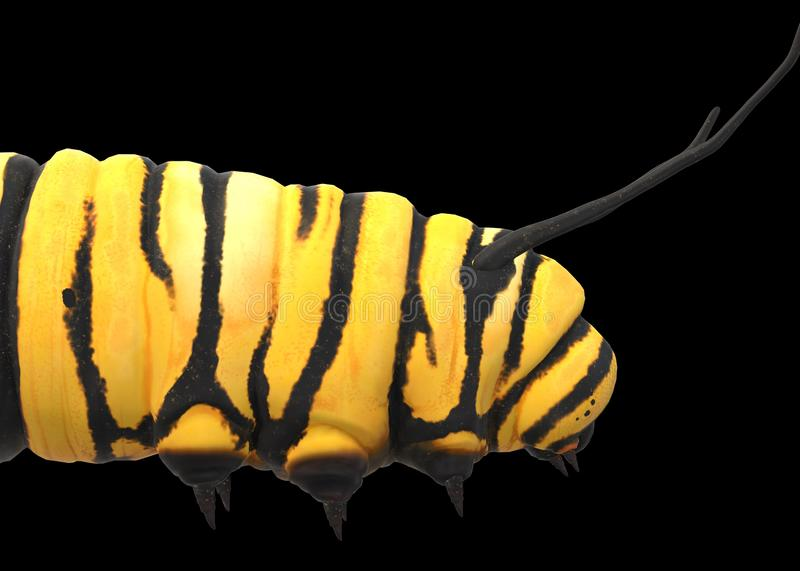 A closeup side view of a yellow caterpillar with black stripes against a black backdrop royalty free stock photos
