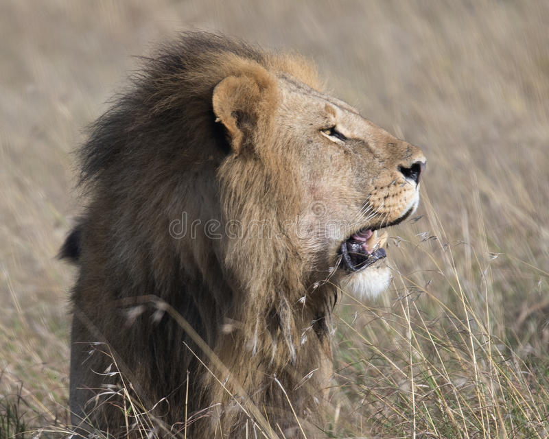 Closeup sideview face of large male lion with teeth showing royalty free stock images