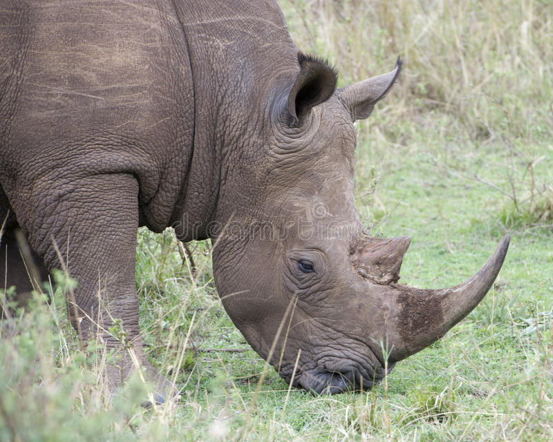 Closeup sideview of the head of a White Rhino standing eating grass. In the Masai Mara National Reserve, Kenya royalty free stock images