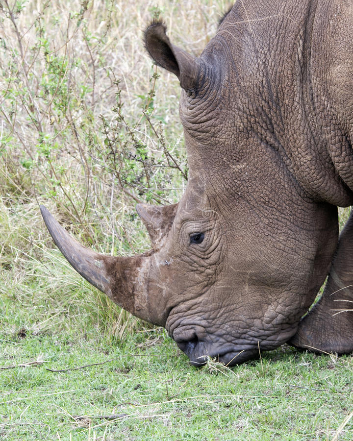 Closeup sideview of the head of a White Rhino standing eating grass. In the Masai Mara National Reserve, Kenya royalty free stock photo