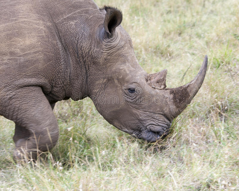 Closeup sideview of the head of a White Rhino standing eating grass. In the Masai Mara National Reserve, Kenya royalty free stock image