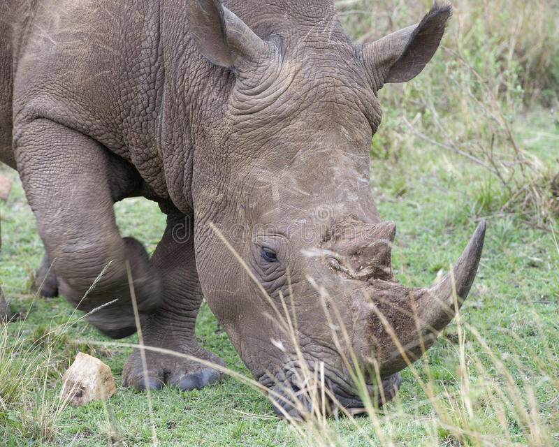 Closeup sideview of the head of a White Rhino walking eating grass. In the Masai Mara National Reserve, Kenya royalty free stock photos
