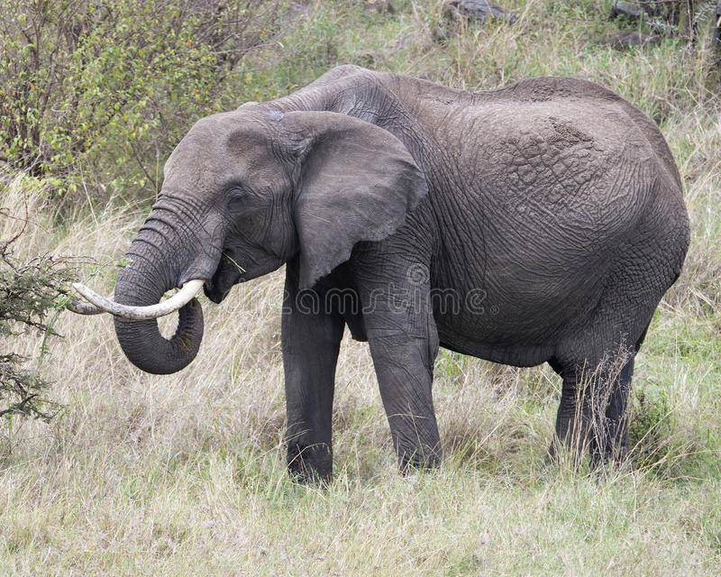 Closeup sideview of a large elephant with tusks eating a bush stock images