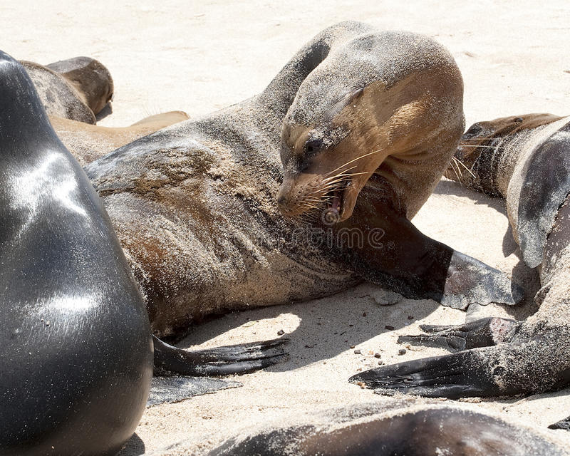 Closeup sideview of a snarling sea lion on a sandy beach stock photography