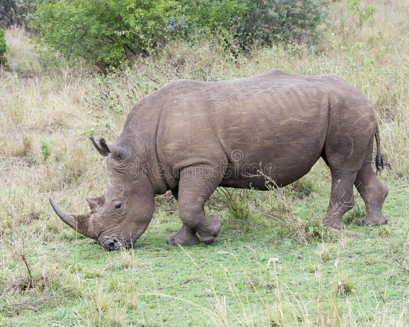 Closeup sideview of a White Rhino walking eating grass. In the Masai Mara National Reserve, Kenya stock images