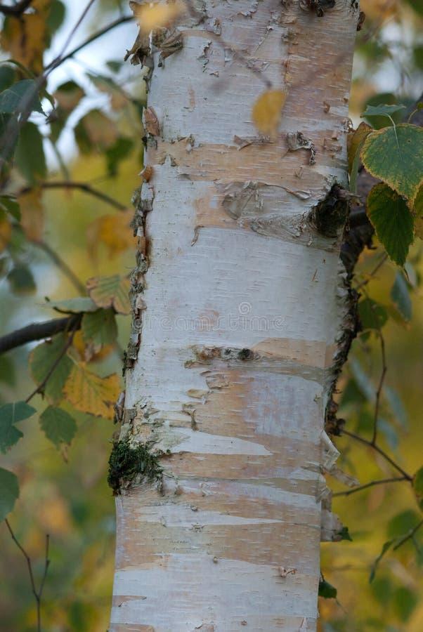 Closeup of a Silver Birch tree stock photos