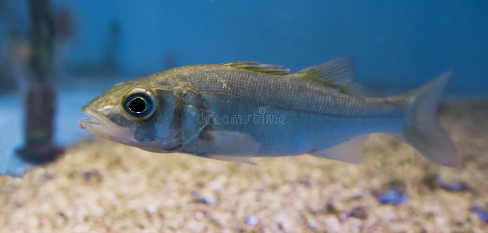 Closeup of a silver juvenile sea bass, portrait of a young small fish royalty free stock photography