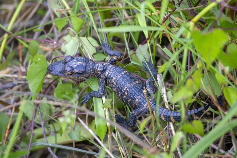 Baby American alligator Alligator mississippiensis stock photography