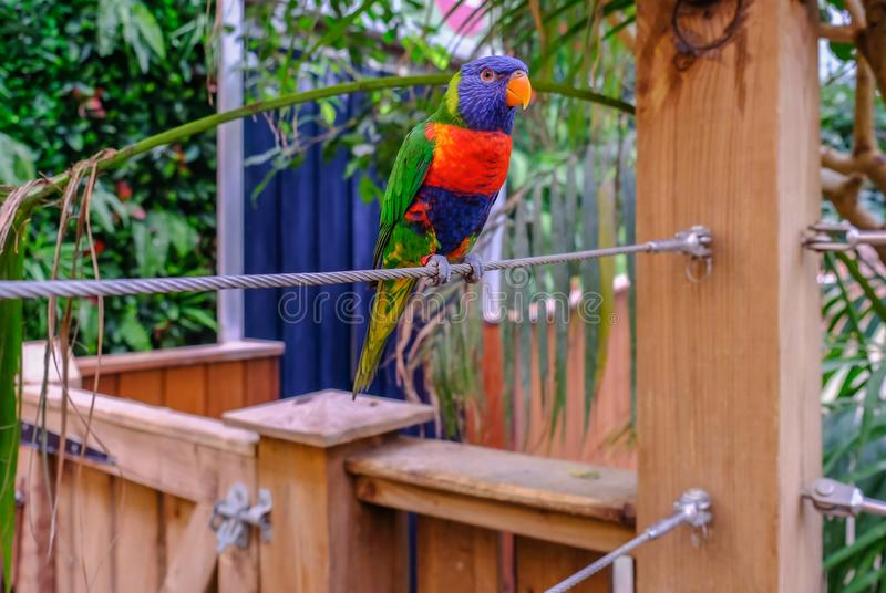 Closeup of single rainbow lorikeet parrot perched on steel cable royalty free stock image