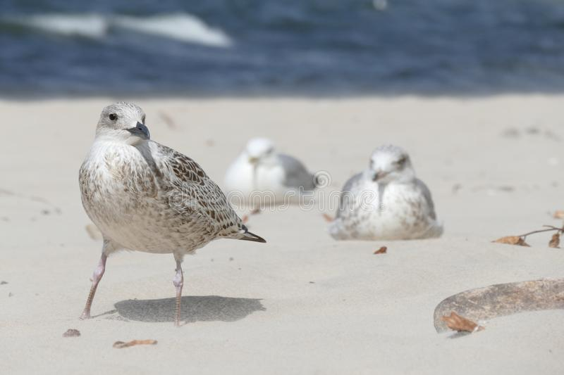 Close-up of a young seagull Larus marinus on a sandy beach during a summer sunny day with other seagulls in the background stock images