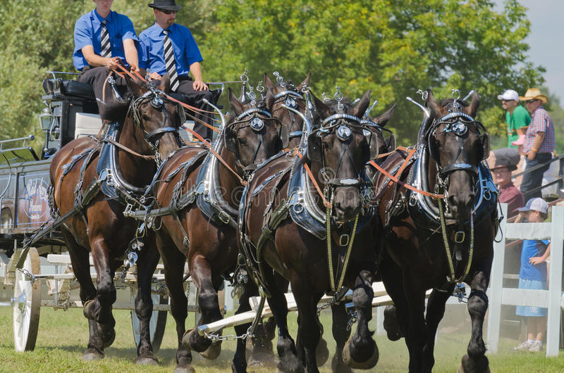 Closeup of a Six Horse Hitch Team of Heavy Draft H