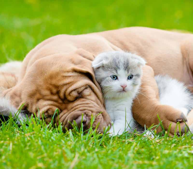 Closeup sleeping Bordeaux puppy dog hugs newborn kitten on green grass.  stock photo