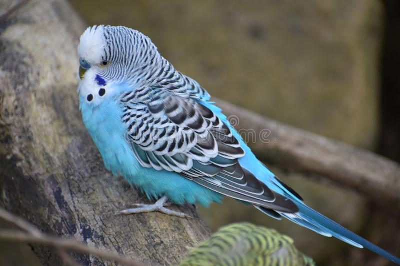 Closeup of a small light blue budgie sitting on a tree branch in a park in Kassel, Germany. Closeup of a small light blue budgie sitting on tree branches in a royalty free stock photo