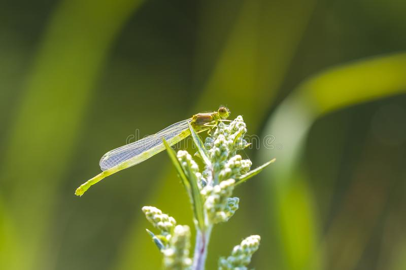 Closeup of a small red-eyed damselfly Erythromma viridulum just. Emerged from the nymph stage. A blue specie with red eyes royalty free stock photography