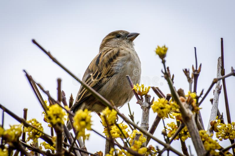 Closeup of small sparrow bird perched in flowering bush royalty free stock photography