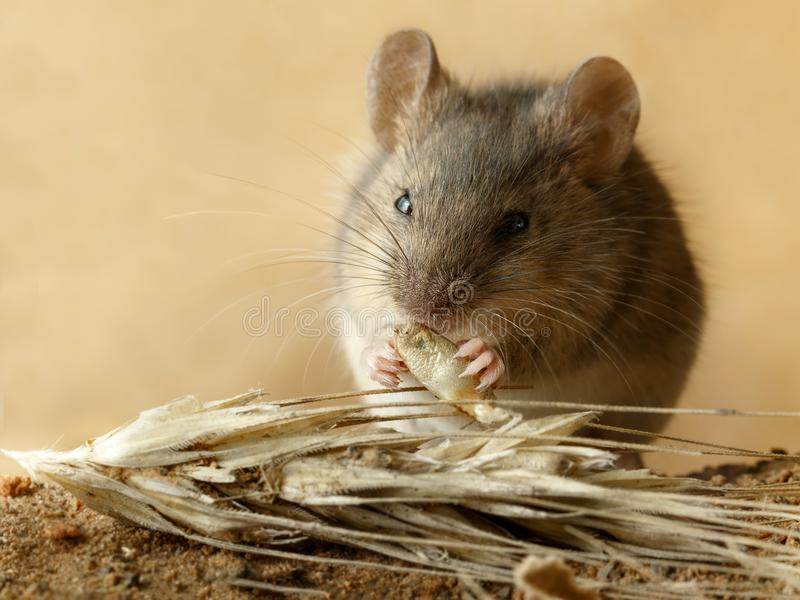 Closeup small vole mouse eats grain of rye near spikelet of rye on the field. stock photo