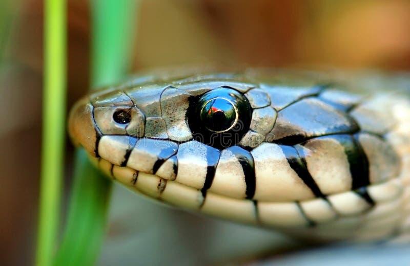 Closeup of snake head royalty free stock photo