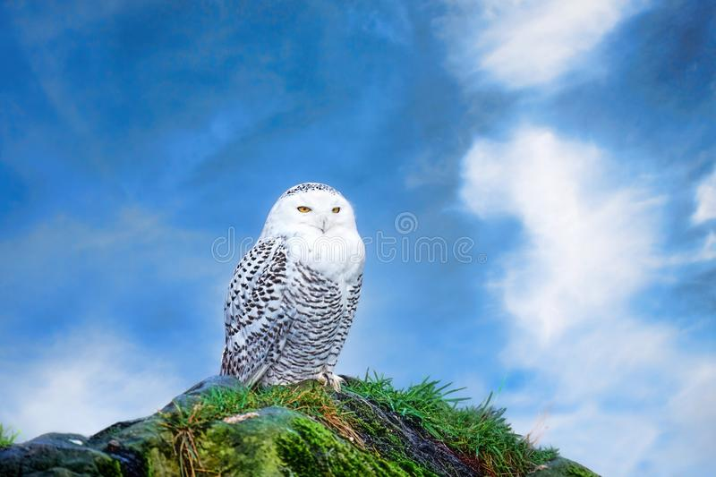 Snowy owl against a blue sky royalty free stock images