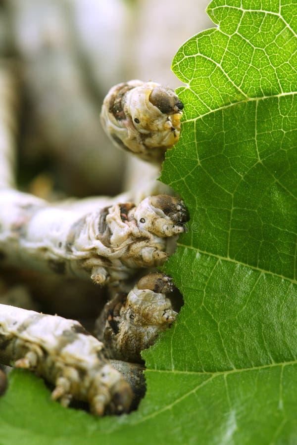 closeup som äter leafmullbärsträdsilkworms arkivfoto