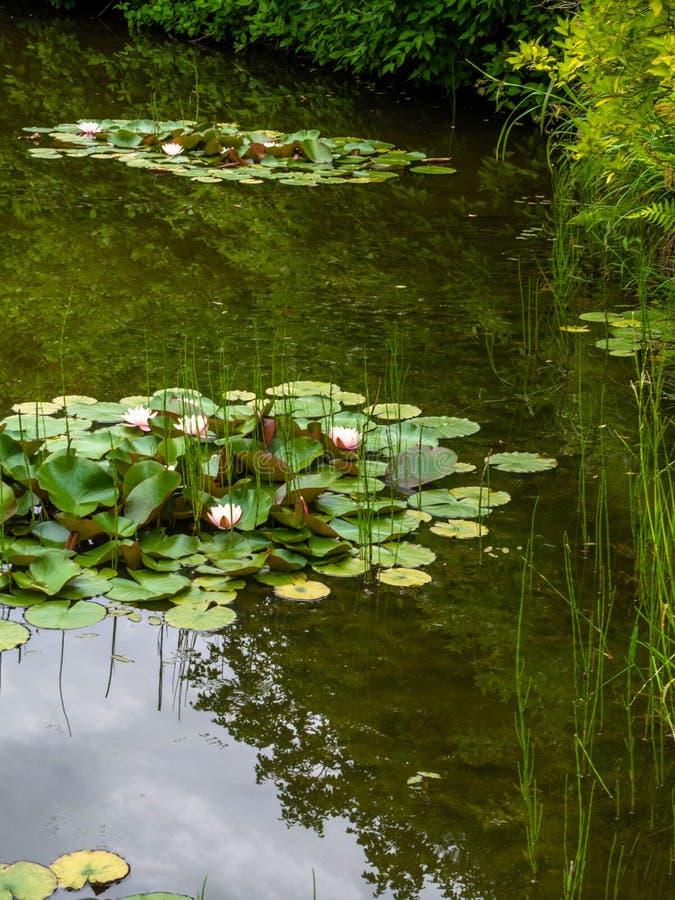 Closeup som blommar näckrors eller lotusblommablommor, med att reflektera på vattnet Härliga vattenväxter med reflexion i ett dam fotografering för bildbyråer