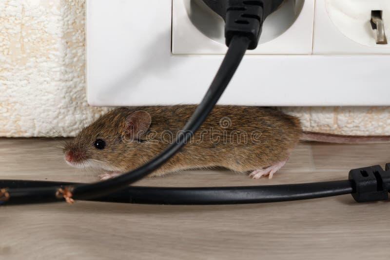 Closeup som musen döljer i hörn under elektriskt uttag arkivfoto