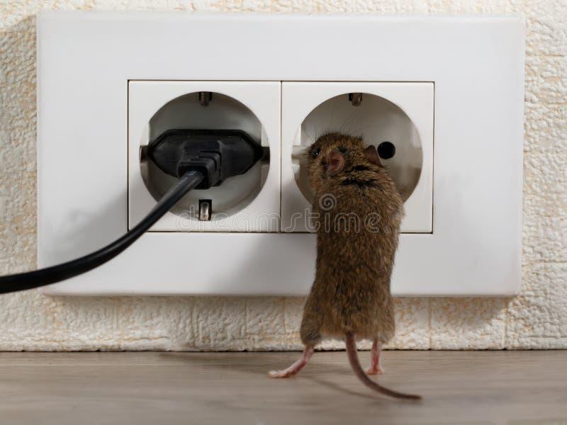 Closeup som musen står på dess bakre ben och klättrar in på elektriskt uttag royaltyfri foto