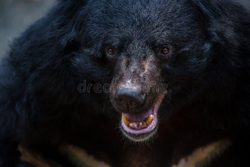Closeup som ska vändas mot av vuxen människaFormosa en svart björn i skogen på en varm sommar för dag arkivbilder