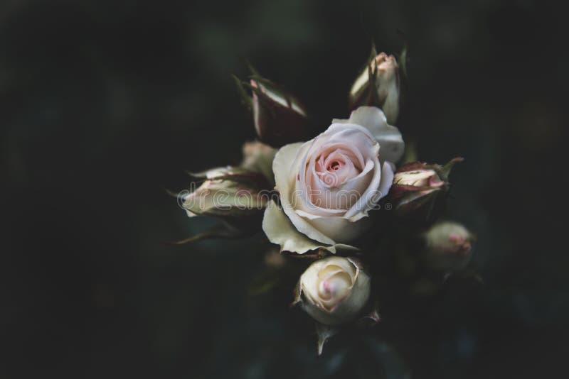 Closeup som skjutas av en vit och rosa ros på en mörk bakgrund arkivfoto