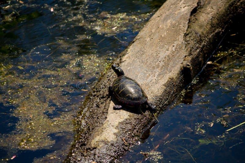 Closeup som skjutas från en målad sköldpadda som vilar på en filial i vatten arkivbild