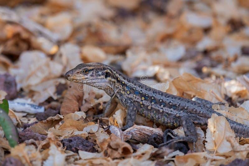 Southern Alligator Lizard Hiding In A Backyard, California ...