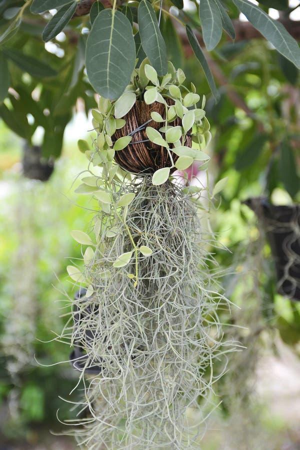 Closeup Spanish Moss Curtain (Tillansia Usenoides L Stock ...