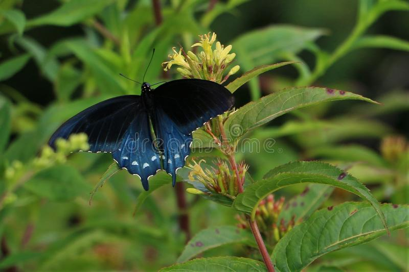 Closeup of Spicebush Swallowtail Butterfly. With it`s blue and black wings with white spots on a flower stock photo