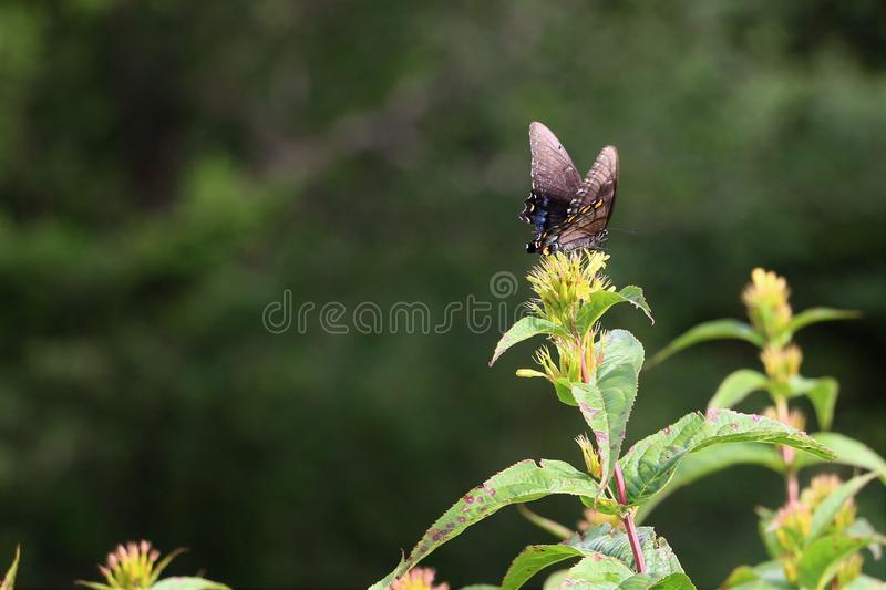 Closeup of Spicebush Swallowtail Butterfly. With it`s blue and black wings with white and orange spots on a flower royalty free stock image