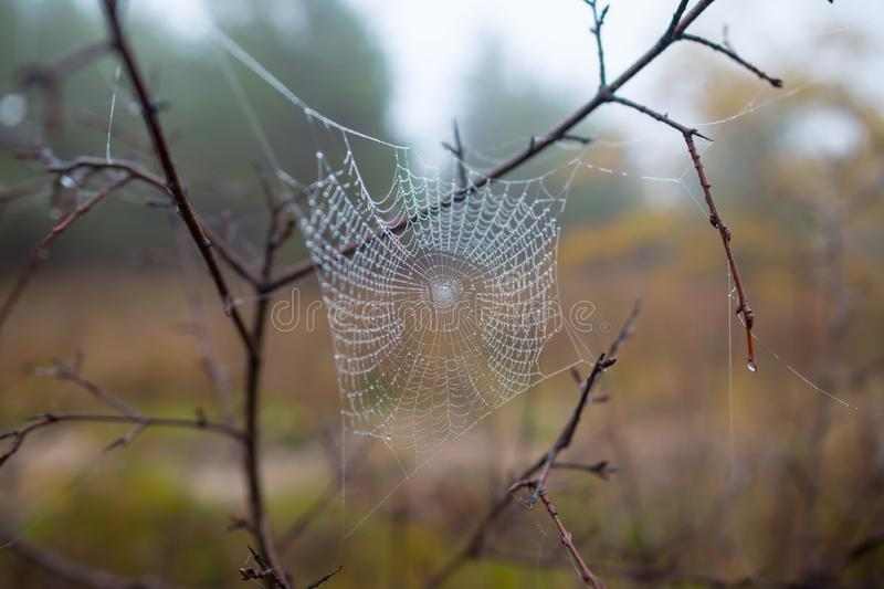 Closeup spider web in a water drops on the bush branch royalty free stock photos