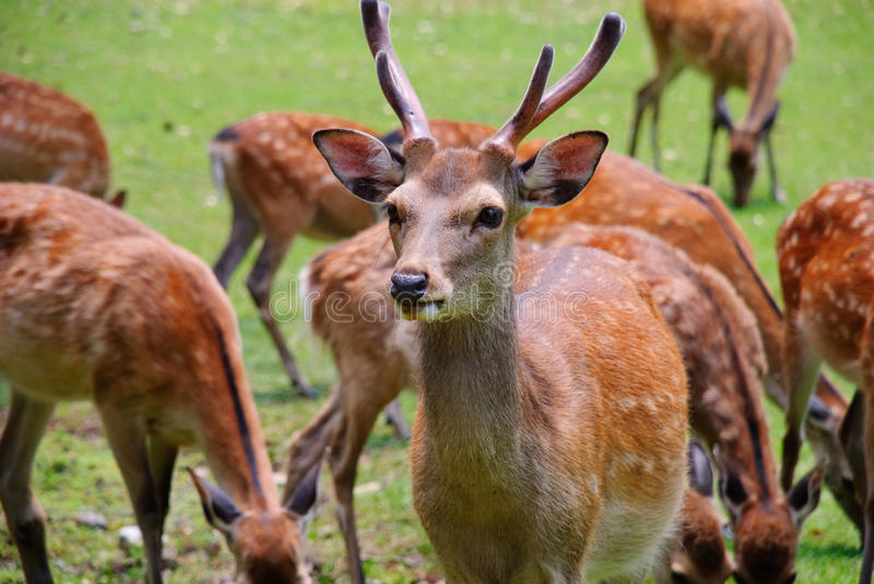 Closeup of a spotted deer in Nara, Japan. Male deer on the alert while the herd is grazing grass stock images