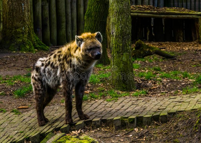 Closeup of a spotted hyena, Carnivorous mammal from Africa, popular zoo animals. A closeup of a spotted hyena, Carnivorous mammal from Africa, popular zoo royalty free stock image