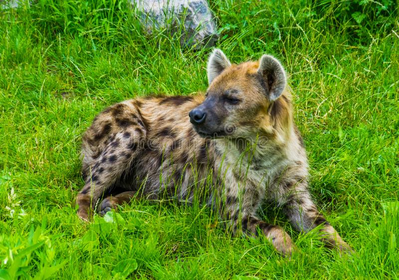 Closeup of a spotted hyena laying in the grass, tropical wild dog from Africa royalty free stock images