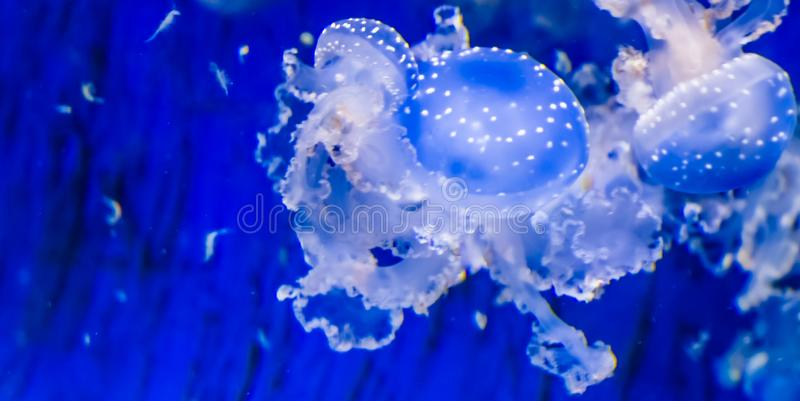 Closeup of a spotted jellyfish, floating bell jellyfish, tropical specie from the pacific ocean royalty free stock images