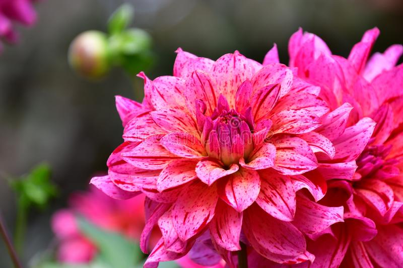 A closeup of a spotted purple dahlia in a garden. royalty free stock images