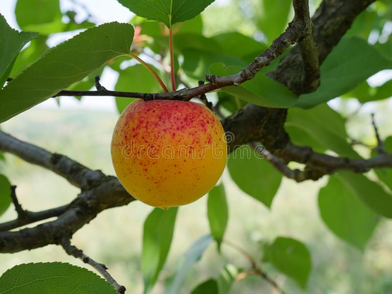 Closeup of a spotted ripe apricot royalty free stock images