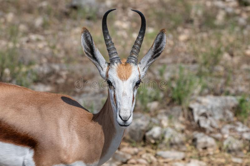 Closeup of a springbok antelope  head and shoulder. With shallow depth of field royalty free stock photo