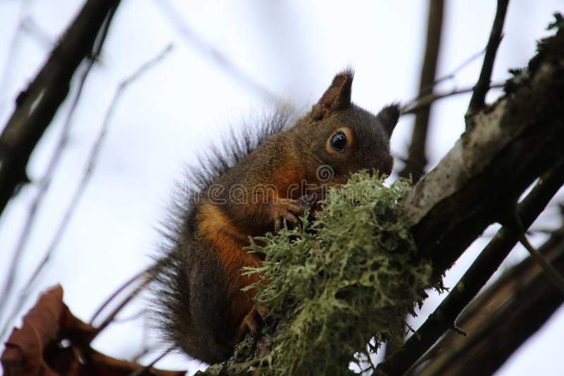 A closeup of a squirrel with a nut. Sitting on a moss covered branch with a grey cloudy sky in the background, animal, brown, cute, fluffy, forest, fur, furry royalty free stock images