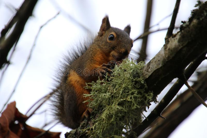 A closeup of a squirrel with a nut. Sitting on a moss covered branch with a grey cloudy sky in the background, animal, brown, cute, fluffy, food, forest, fur stock image
